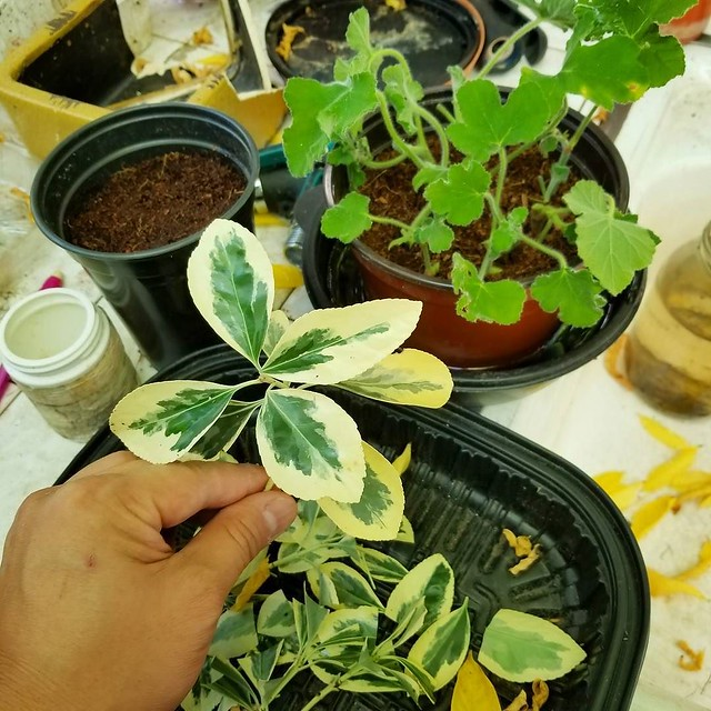 I took some cuttings from some limbs that we recently pruned. Peppermint Geranium (Pelargonium tomentosum) and a Variegated Euonymus. I don't think this is the right time of the year to do cuttings, but they were boring prune anyways. #geranium #peppermin