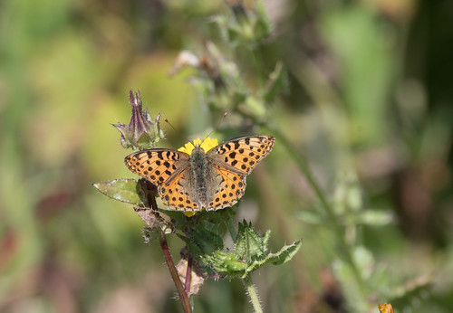 Queen of Spain Fritilary (550) | by markhows