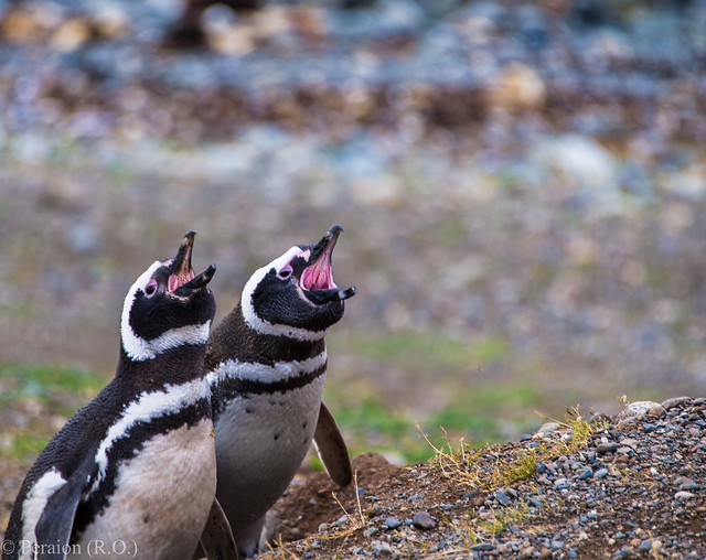 Making their voices heard... (Penguins on Magdalena Island, Patagonia, Chile)