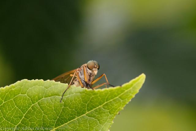 Marsh Snipefly.