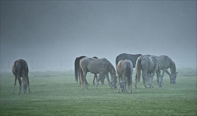 Arabian greys