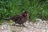Ruffed grouse (Bonasa umbellus) by TG23-Birding in a Box