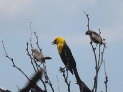 Yellow-headed Blackbird, Big Bend National Park, TX 7/17/2017