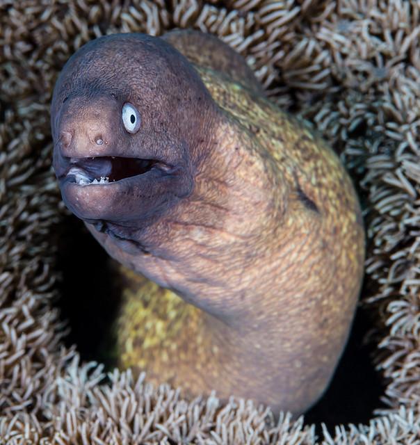 White-eyed Moray - Gymnothorax thyrsoideus