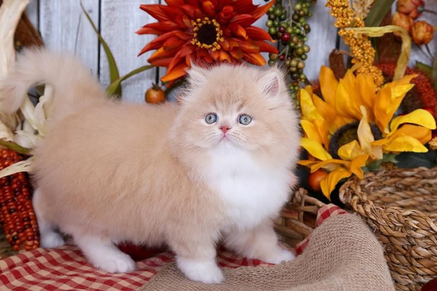 Doll Face Persian Kittens   Cream and White Persian Kitten   Flickr