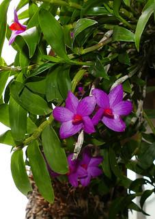 Dendrobium glomeratum species orchid   by nolehace