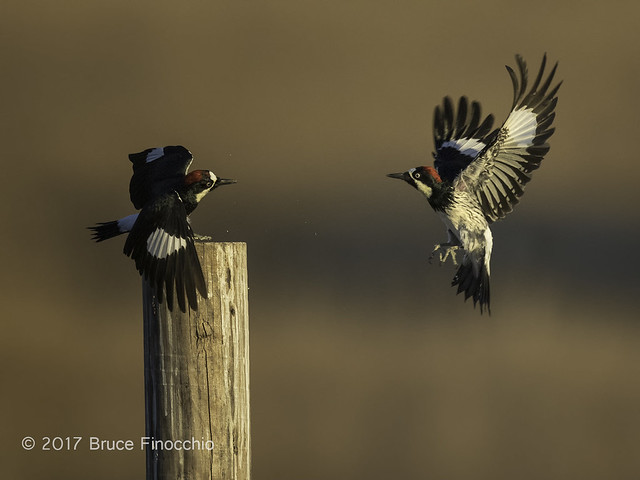 Two Acorn Woodpeckers Clash Over A Fence Post Perch