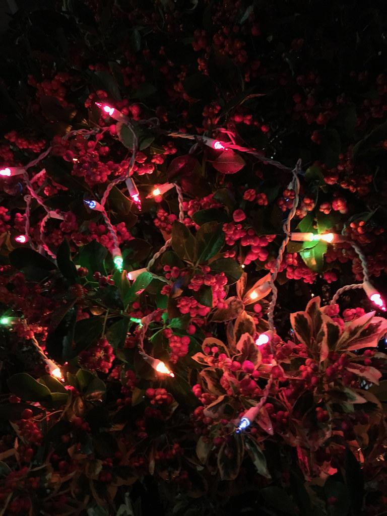 Christmas Bush Lights.Christmas Lights In A Bush In Bay Ridge Jack Szwergold