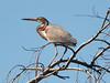 Purple Heron by Mandara Birder