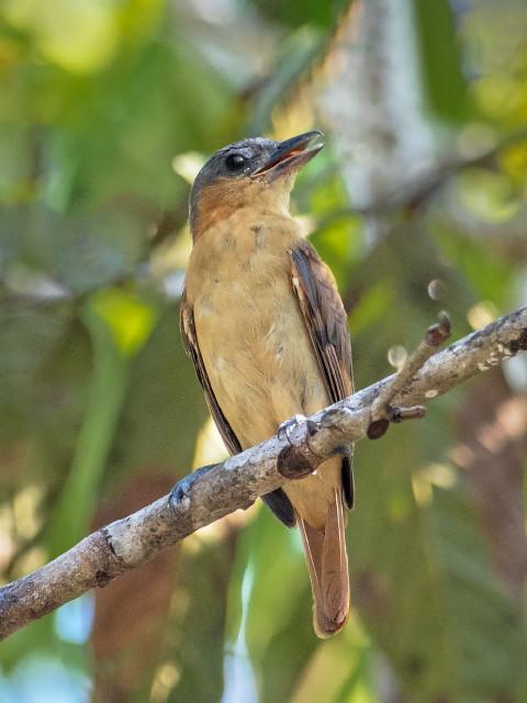 Caneleiro-pequeno (Pachyramphus minor) fêmea