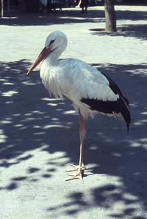 White stork Rhodes market place. East Mediterranean