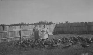 Turkey raising in the Sylvain Lake district, Alberta / Élevage de dindes dans le district de Sylvain Lake (Alberta)