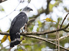 Grey-headed Kite (Leptodon cayanensis) by Jorge Chinchilla A.