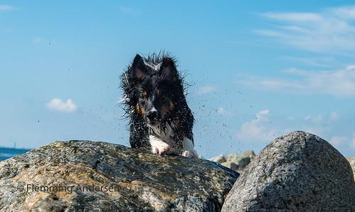 stone wet pet nature water dog hund yatzy focus outdoor stones animal hurupthy northdenmarkregion denmark dk