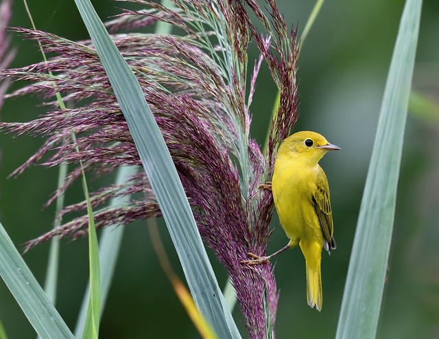 Paruline jaune ------ American yellow warbler ------  Reinita de manglar