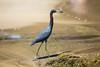 Little Blue Heron (Egretta caerulea) by Sergey Pisarevskiy