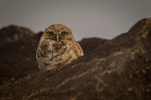 Burrowing Owl | Athene cunicularia | Chevêche des terriers | by Paul B Jones