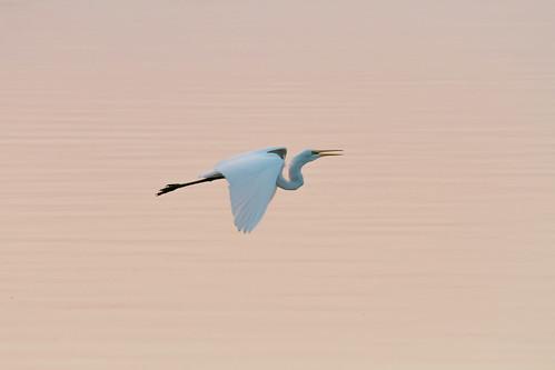 2017 canon eos7d horseshoelake illinois midwest september bird birds morning pelicans sunrise pontoonbeach unitedstates us