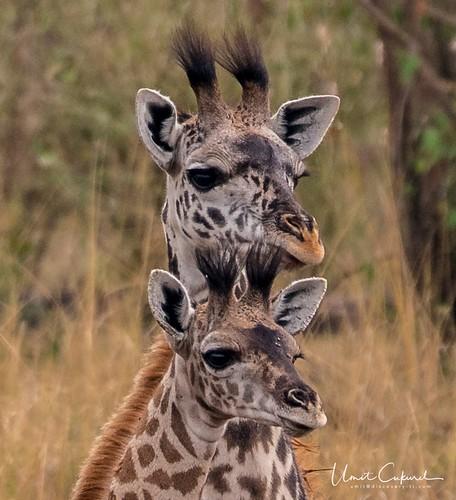 lion cub lioness nature sunset sunrise wildlife kenya africa nikon d500 greatmigration wildebeest zebra giraffe crocodile hunt kill 18 narokcounty