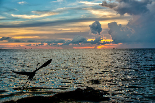 sunset bird heron gulf florida ocean water greatblueheron floridasunset emersonpoint emerson point preserve palmettofl palmettoflorida emersonpointpreserve