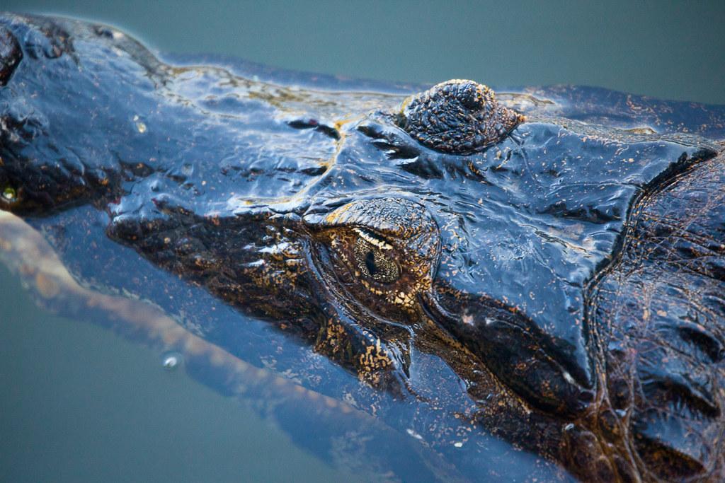 Pantanal Crocodile