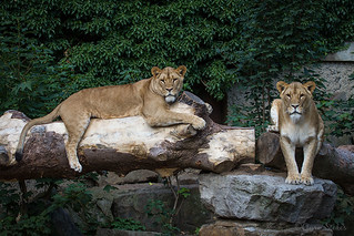 Asiatic Lions | by BambersImages