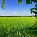 Rice Field Bangladesh