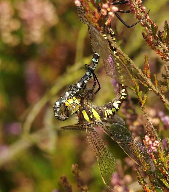Dragonflys mating longshaw peak district 2017 (3)