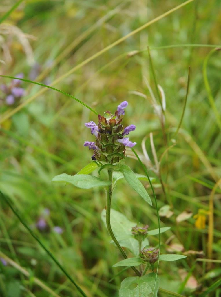 Kleine Braunelle Prunella vulgaris