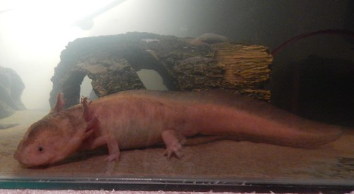 Faygo Axolotl | by aly.the.luvly