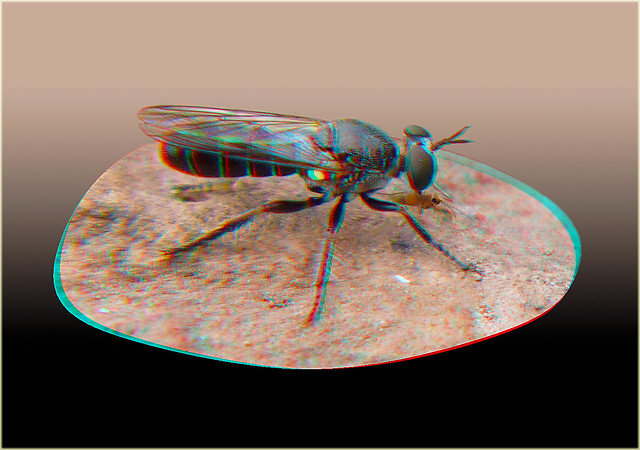Atomosia puella, Robber Fly Having Dinner 1 - Anaglyph 3D