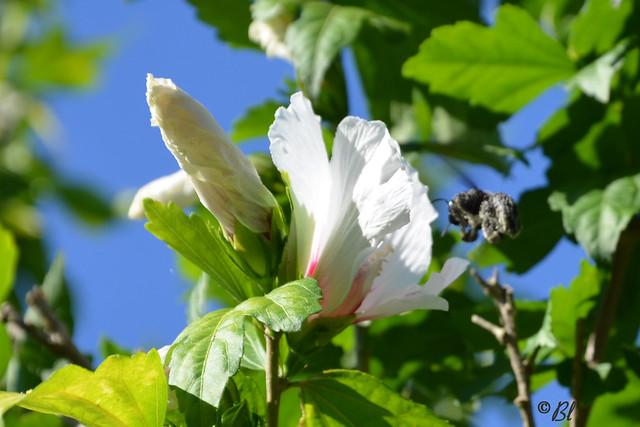 Le bouton, l'hibiscus blanc et son visiteur tout de noir vêtu.