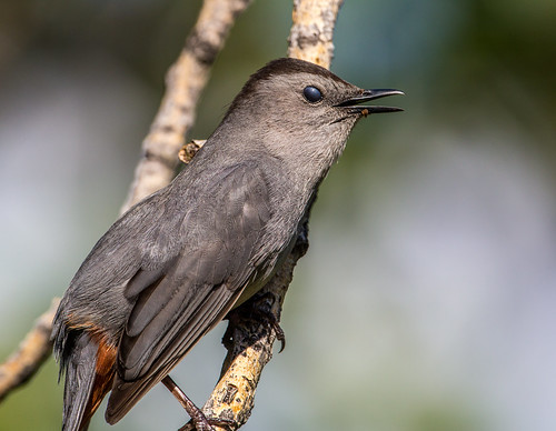 graycatbird greycatbird dumetellacarolinensis dumetella slatecoloredmockingbird catbird mimidae nigelje okanagan