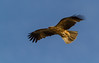 Whistling kite (Haliastur sphenurus) by Trace Connolly Photography