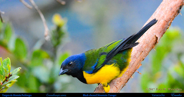 BLACK-CHESTED MOUNTAIN-TANAGER Cnemathraupis eximia at the Yanacocha Reserve in ECUADOR. Mountain-Tanager Photo by Peter Wendelken.