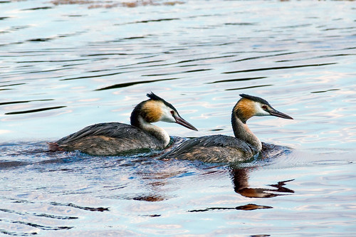 Great Crested Grebe (Pair) | by Mike.Pursey