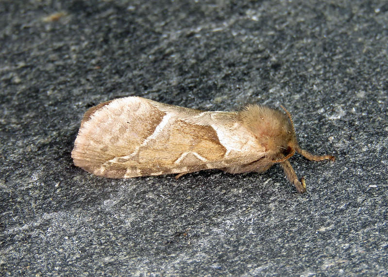 3.001 Orange Swift - Triodia sylvina