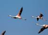 Greater Flamingo (Phoenicopterus roseus) by piazzi1969