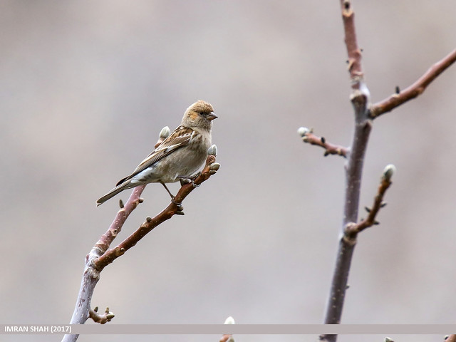Plain Mountain Finch (Leucosticte nemoricola)