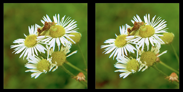 Jagged Ambush Bug on Heath Aster Flower 4 - Parallel 3D