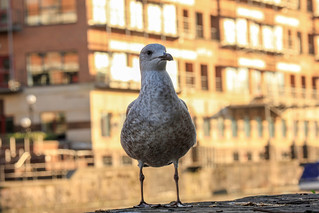 Sunset Herring Gull, Bristol, Ian Wade