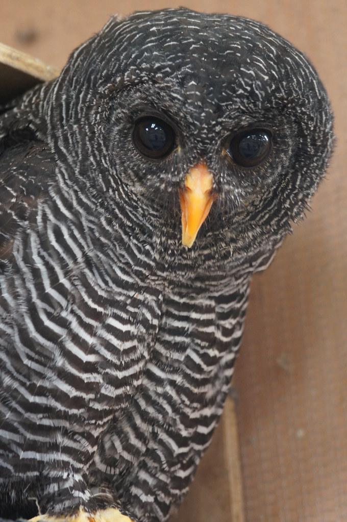 """Shadow"" Black Banded Owl"