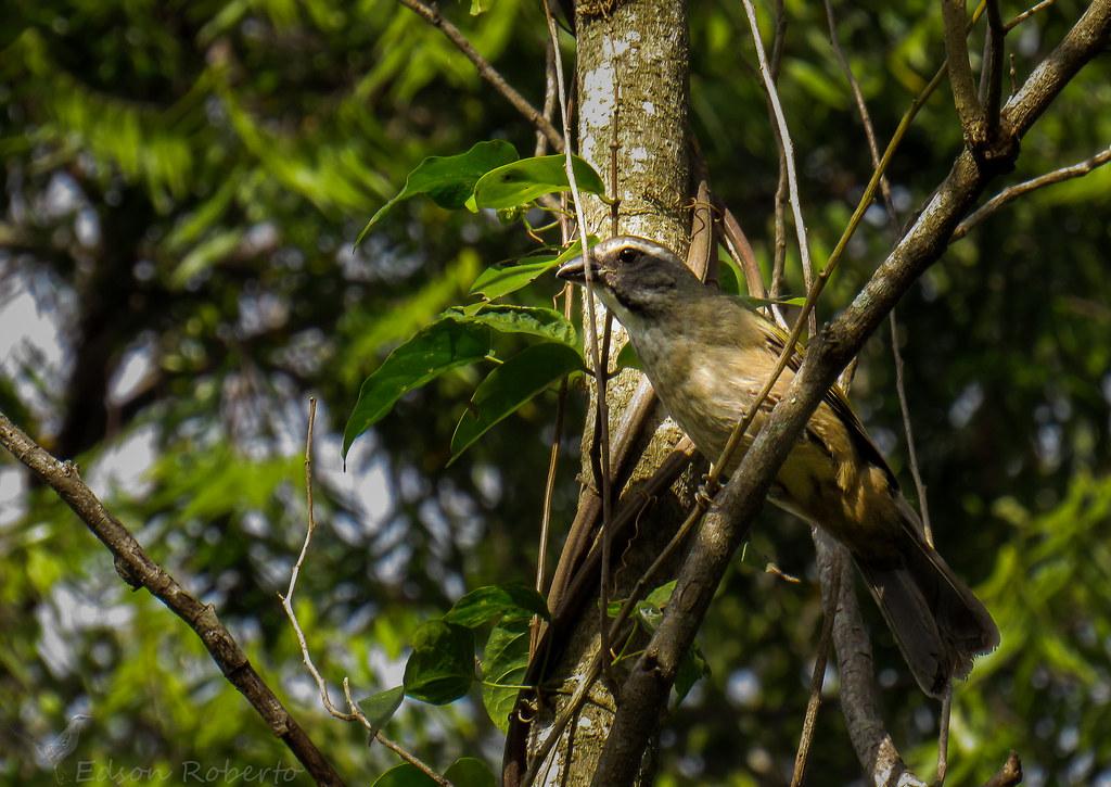 trinca-ferro-verdadeiro (Saltator similis) Green-winged Saltator