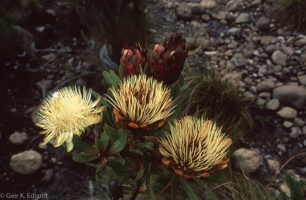 Protea sp
