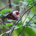 New World Warblers - Parulidae