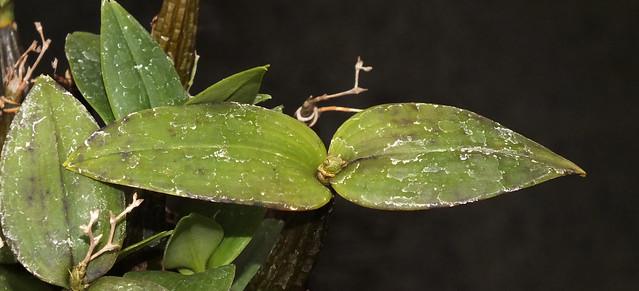Deviating orchid (Dendrobium aberrans)
