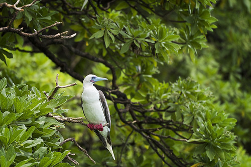 Red-footed Booby, Palmyra Atoll | by Island Conservation