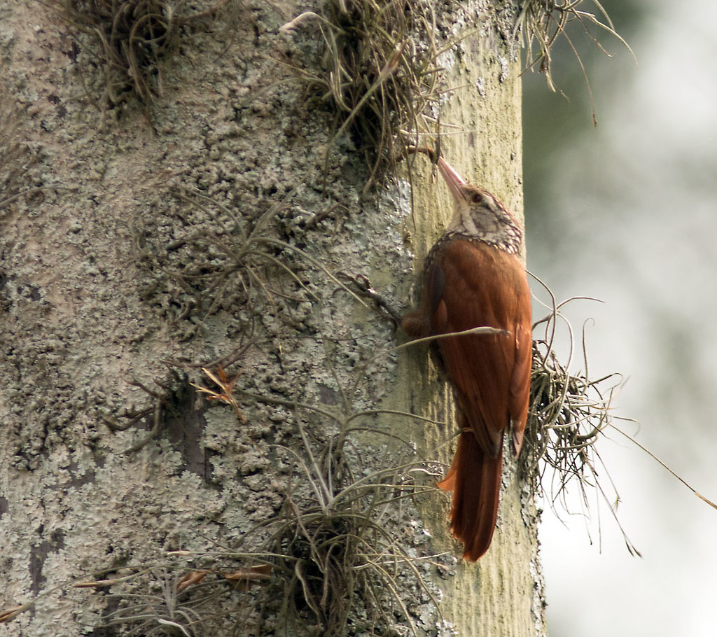 Staright-billed Woodcreeper