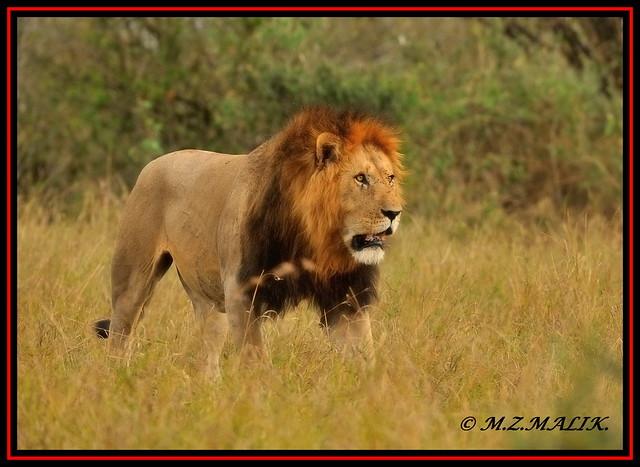 THE YOUNG KING OF JUNGLE (Panthera leo)....MASAI MARA....SEPT 2013