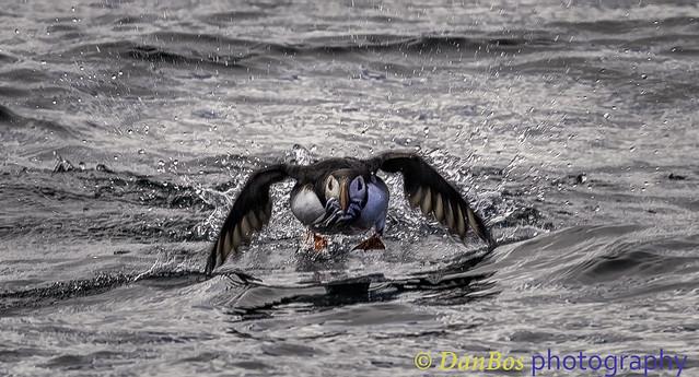 Atlantic Puffing taking off